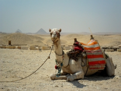 A camel reclines at Saqqara with the bent and red pyramids of Dahshur in the distance