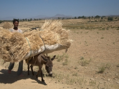 A man guides his overloaded donkey