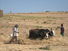 Cows thrashing wheat (a common sight in Ethiopia)
