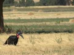 An Abyssinian Ground Hornbill