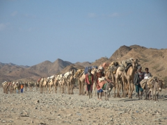 A weary camel caravan makes its way into Berhale