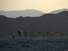 A salt trader leads his camel caravan as he searches for a suitable rest stop for the night
