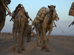 View of two camel caravans traversing in opposite directions