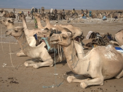 Camels resting in between salt runs