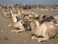 Camels resting in between salt runs