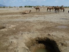 The Afar have dug a makeshift well for their camels