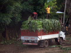 A truck overloaded with bananas; Arba Minch