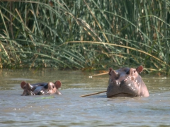 Curious hippos pop above water upon hearing our boat's motor; Lake Chamo