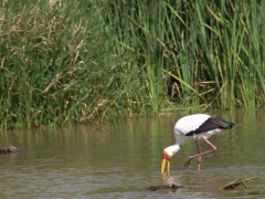 A yellow-billed stork wades in Lake Chamo while crocodiles lounge nearby