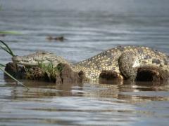 View of a crocodile sunning itself