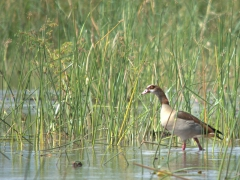A fearless Egyptian Goose strolls around Lake Chamo