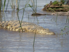 """Lake Chamo touts itself as home to a very large """"crocodile market"""" but we only saw a handful of crocodiles. For us, this boat trip was a disappointment after all the hype"""