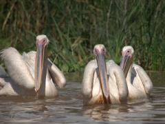 Pelicans aplenty in Lake Chamo
