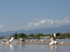 """It was fascinating to watch the pelicans work together in a group to hunt. They would """"herd"""" the fish to an area where they couldn't escape and on a signal, all of them would suddenly feast"""