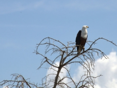 An African Fish Eagle perched up high keeps a lookout over Lake Chamo