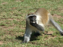 A vervet monkey grabs a banana that tourists used to lure it closer to them; Lake Chamo