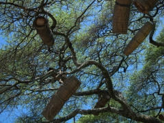 Bee hives dangle from a tree. Bee keeping is big business in rural Ethiopia where each beehive can command up to $175 in honey
