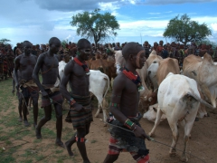 To kick off the jumping of the bull ritual, the assistants (all of whom have successfully bull jumped themselves) start to herd the cows and bulls into formation