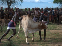 Sometimes, a cow makes a run for it. Here, two Hamer men help each other to bring the runaway cow back under control