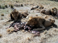 Lions feasting on animal intestines; Antelope Park