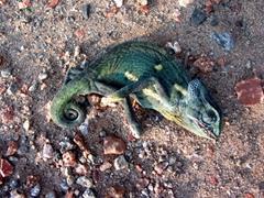 Poor chameleon! It didn't make it across the road; Victoria Falls
