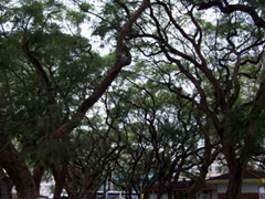 Shady trees provide a natural archway at the African Unity Square in Harare