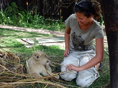 Becky plays with a young lion cub; Antelope Park in Gweru