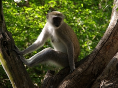 A vervet (or green) monkey remains in a rare dry zone inside of Victoria Fall's Park