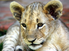 The lion cubs are super cute and so much fun to play with; Antelope Park