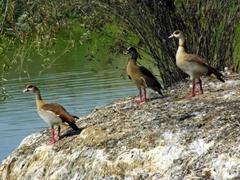 Egyptian geese warily check us out; Kuimba Shiri Bird Park