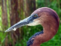 Close up of a Goliath heron; Kuimba Shiri Bird Park