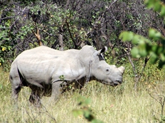One of four white rhinos that we tracked on foot; Matopos National Park (note: its horn had recently been sawed off to prevent poaching so the rhino was quite skittish)