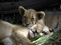 Its nap time for the lion cubs who seek a shady spot for an afternoon siesta