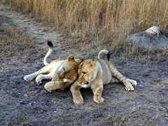 Two 18 month old female lions, Meeka and Kylie, playfully rub against each other