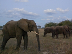 Elephants getting ready for their lunar walk excursion; Antelope Park
