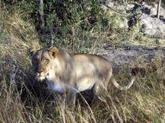 Athena (Wakalaka's mom) makes direct eye contact with us; Antelope Park's Stage II area