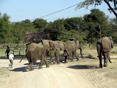 An elephant trainer guides his elephants through Antelope Park