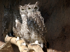 A row of Spotted Eagle Owls inquisitively check us out; Kuimba Shiri Bird Park