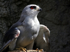 We felt really bad for this Black Shouldered Kite as it repeatedly kept trying to fly to freedom, scraping its wings to bloody bits in the process; Kuimba Shiri Bird Park