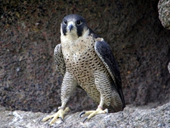 A view of the magnificent African Peregrine Falcon; Kuimba Shiri Bird Park