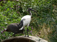 A Helmeted Guinea Fowl and a Sacred Ibis coexist peacefully within the confines of the Kuimba Shiri Bird Park