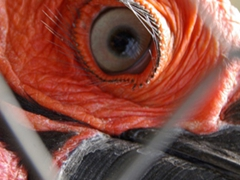 View of the amazingly long eye lashes of a Southern Ground Hornbill; Kuimba Shiri Bird Park