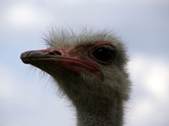Close up of an ostrich sternly checking us out; Kuimba Shiri Bird Park