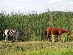 A zebra and a horse share the same grazing area; Kuimba Shiri Bird Park