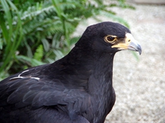 A famous retired black eagle named Geisha, aged about 30 years old (she has appeared in several wildlife shows documenting black eagles); Kuimba Shiri Bird Park