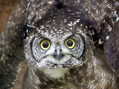 A Spotted Eagle Owl puffs up its wings and stares furiously at us; Kuimba Shiri Bird Park