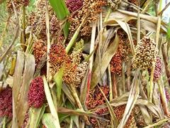 Detail of sorghum seeds; Lake Bunyonyi