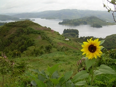 A solitary sunflower adds a splash of color to the green hued landscape of Lake Bunyonyi
