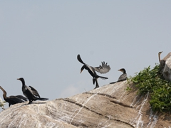 Cormorants sunning themselves as they watch the entourage of rafts pass them by; Nile River