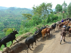 A herder guides his cows along a dirt road